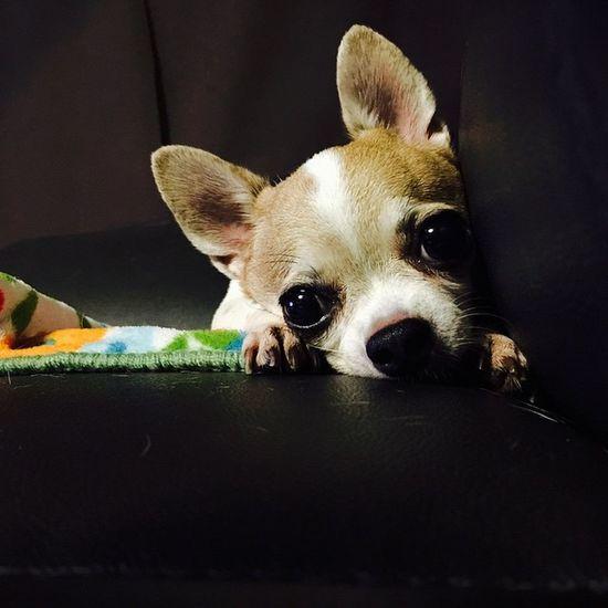 Dog Dogs Pet Petpet Lovepet Petpet Chihuahua Chihuahuas Mydog Dogofinstagram