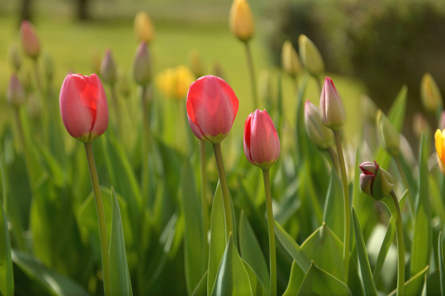 Beauty In Nature Blooming Bud Close-up Day Field Flower Flower Head Focus On Foreground Fragility Freshness Growth Nature Nature Outdoors Petal Pink Color Plant Red Tulips Selective Focus Showcase April Stem Tulip Tulipan Tulips