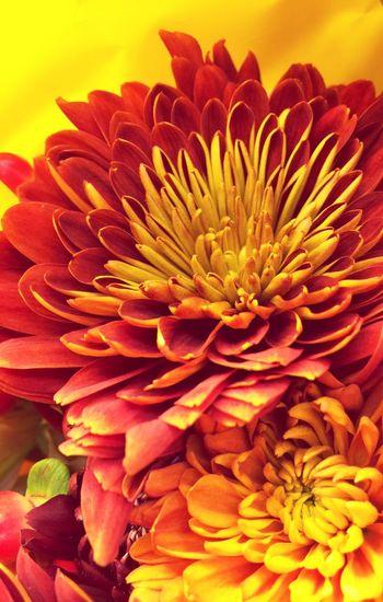 No People Beauty In Nature Vibrant Color Chrysanthemums Tangerine Color Flower Iphone6plus Yellow Orange Flower Arrangement Freshness Halloween! Fall ColorShare Eyeem Market