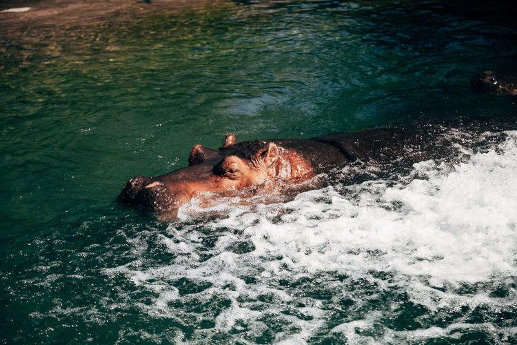 Animal Themes Animal Wildlife High Angle View Hippo Hippopotamus Mammal Nature Swimming Water Wildlife Wildlife & Nature Zoo Zoo Animals
