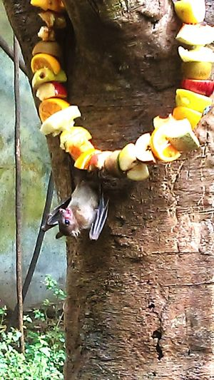 Fruit Bat Fruit Bat Hungry Eating Too Cute Henry Doorly Zoo