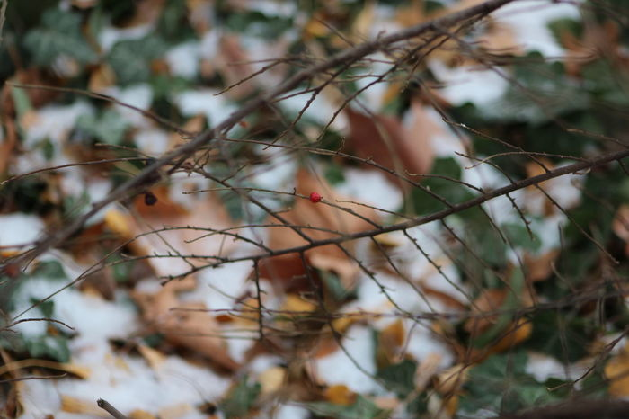 Be Happy Beauty In Nature Branch Bush Center Close-up Cotoneaster Day Green Growth Middle Nature No People Outdoors Red Snow