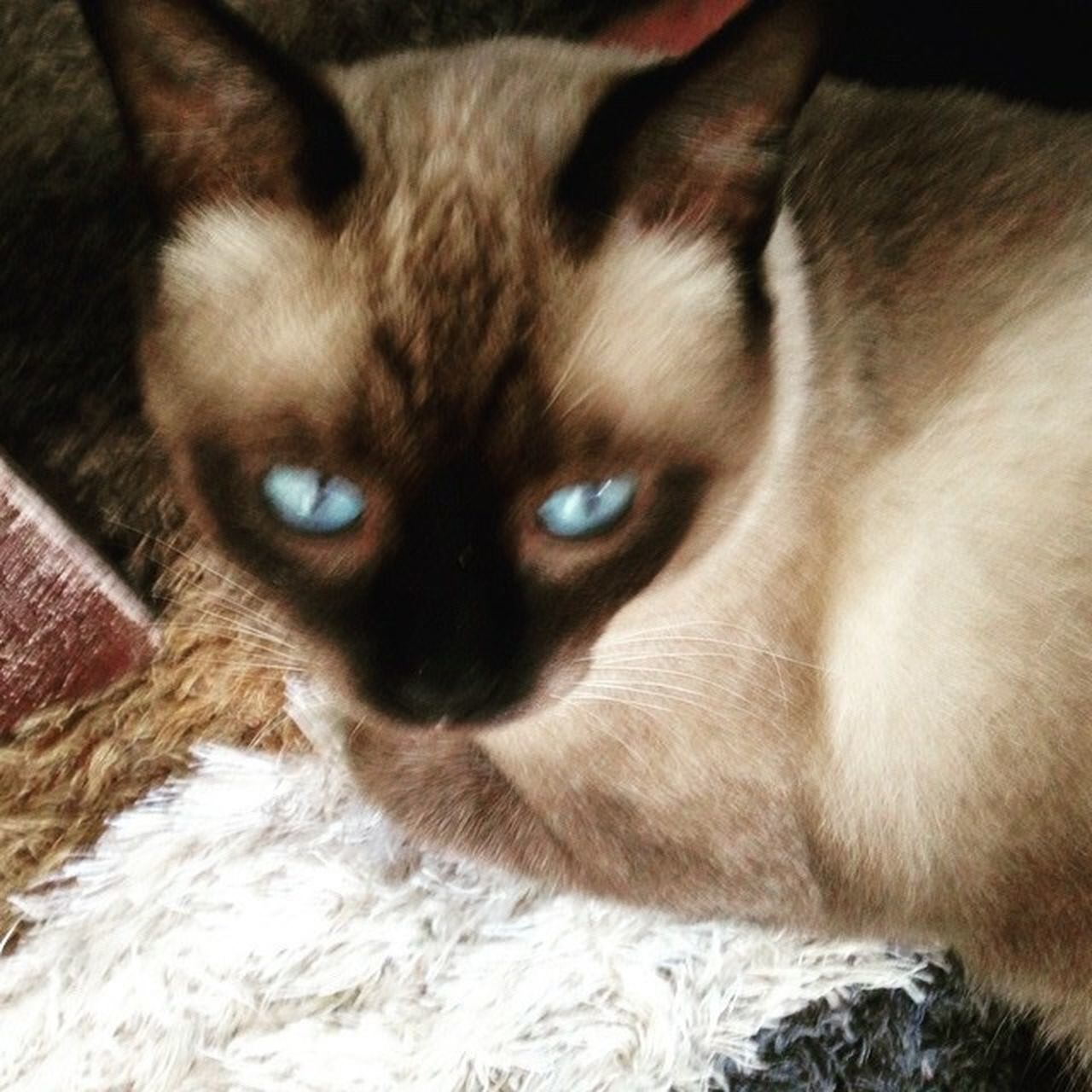 domestic cat, pets, feline, domestic animals, animal themes, one animal, mammal, cat, whisker, portrait, looking at camera, no people, yellow eyes, indoors, close-up, siamese cat, day