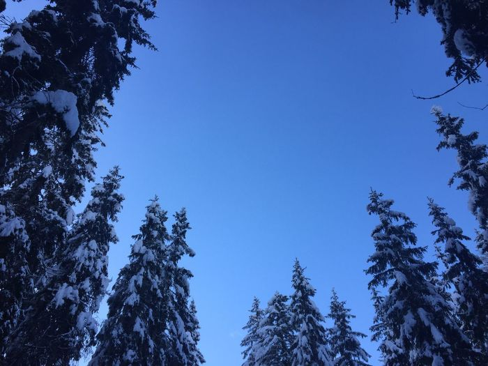 Snow Capture The Moment Photo Photography Sky Tree Nature Low Angle View Beauty In Nature Growth Blue Clear Sky Day No People Pine Tree Tranquility Winter Cold Temperature Branch Forest Outdoors Sky Scenics Shades Of Winter