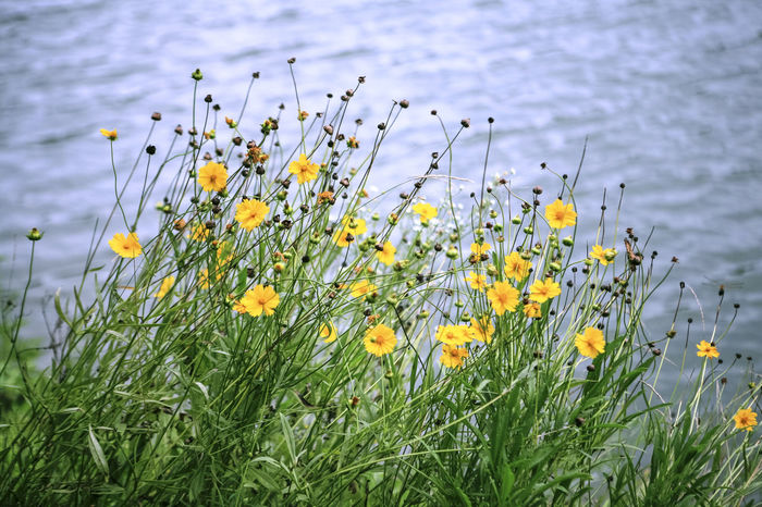 Beauty In Nature Blooming Bundang Close-up Daisy Field Flower Flower Head Focus On Foreground Fragility Freshness Growing Growth In Bloom Lakeside Nature Petal Plant Stem Water Wildflower Yellow Yuldong Pak