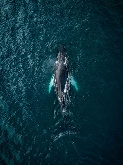 Whales from above in Iceland The Great Outdoors - 2018 EyeEm Awards Animal Animal Themes Animal Wildlife Animals In The Wild Aquatic Mammal Beauty In Nature Day Mammal Marine Motion Nature No People One Animal Outdoors Sea Sea Life Swimming UnderSea Underwater Water