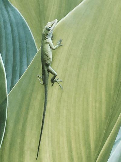 Artist Lizard Lizard Love Lizard Cuteness Lizard Nature Lizardlove Nofilter Noedit NoEditNoFilter Nofilter#noedit