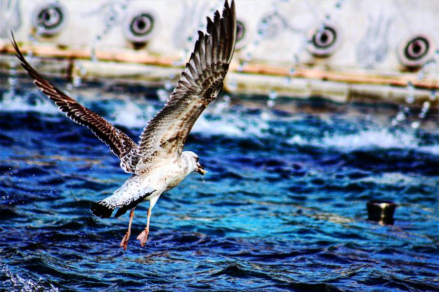 give me the food and fly EyeEm Selects One Animal Day Animal Themes No People Outdoors Flying Spread Wings Bird Water