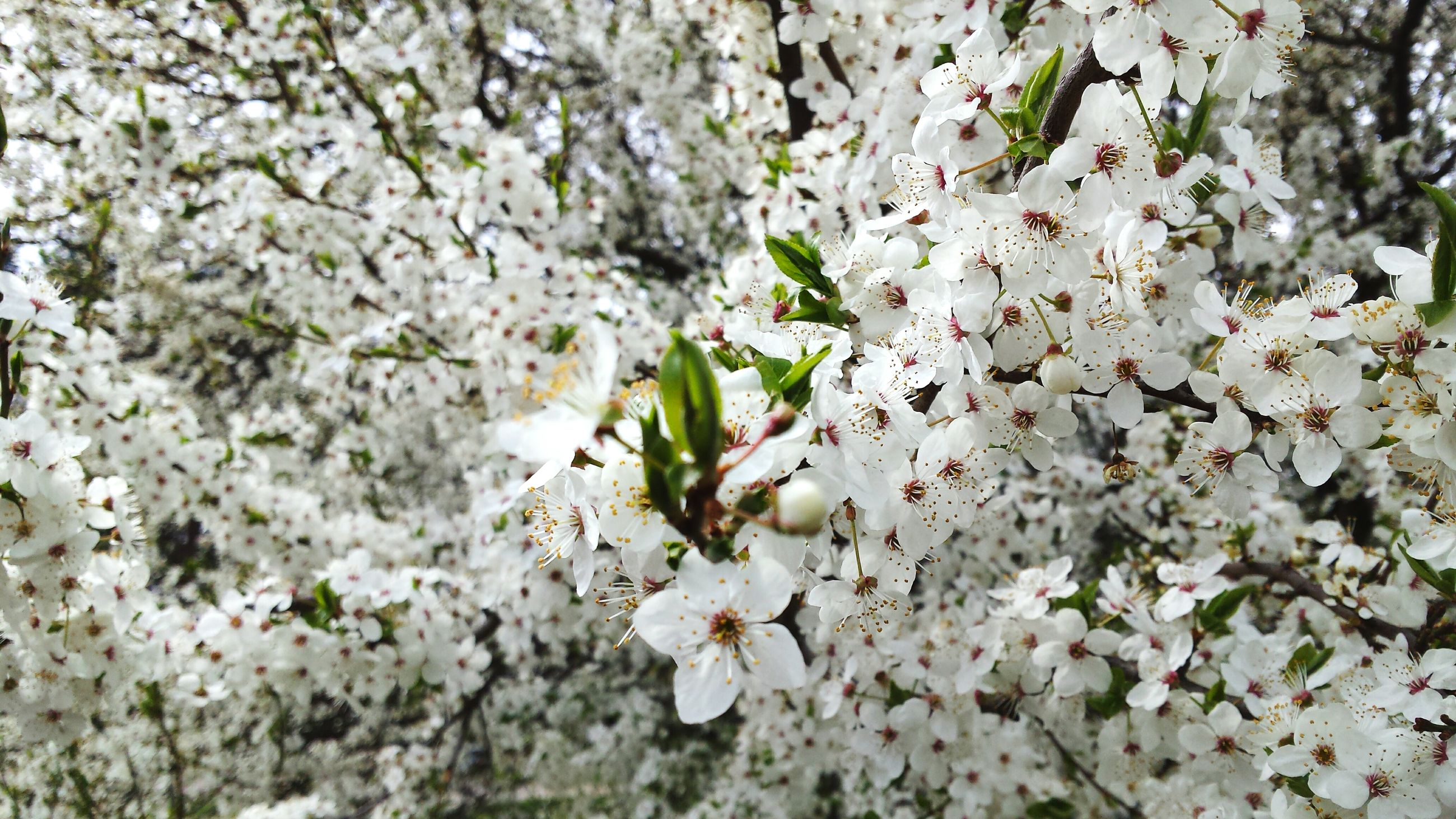 flower, growth, freshness, white color, fragility, beauty in nature, nature, petal, tree, branch, blossom, blooming, plant, in bloom, close-up, focus on foreground, cherry blossom, springtime, botany, white