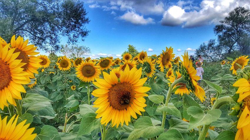 Flower Beauty In Nature Nature Sky Field Sunflower EyeEm Best Shots Good Morning! EyeEm Best Shots - Landscape Nature Landscape Beauty In Nature Dramatic Sky Sunlight