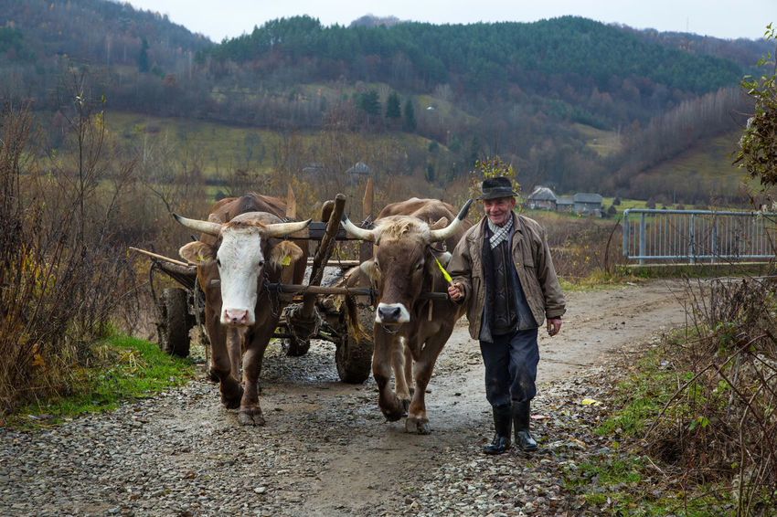 Maramures Agriculture Animal Themes Day Domestic Animals Field Livestock Mammal Mountain Nature One Person Outdoors Oxen People Rural Scene