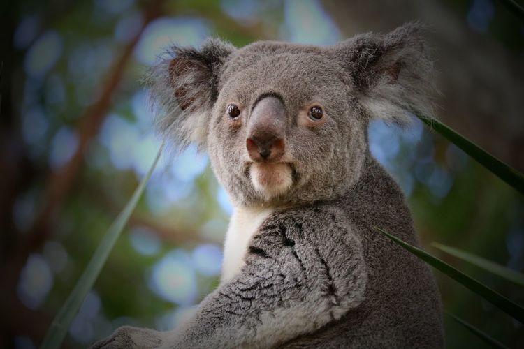 Close-up portrait of a koala