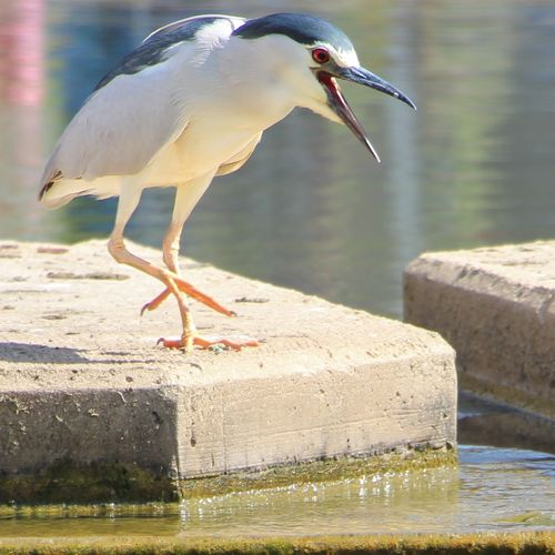 Close-up of black-crowned night heron on stepping stone