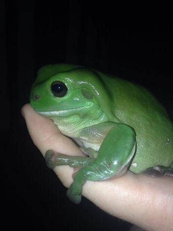Frog Summer Green Tree Frog