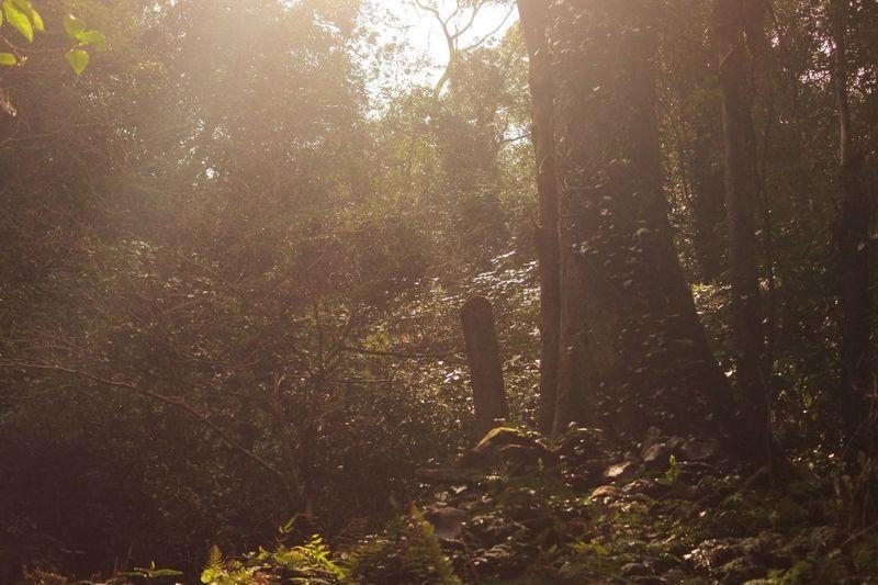 射し込む光 Tree Forest Nature Tranquility Growth Beauty In Nature Sunlight No People Outdoors Scenics Tree Trunk Tranquil Scene Day Woods