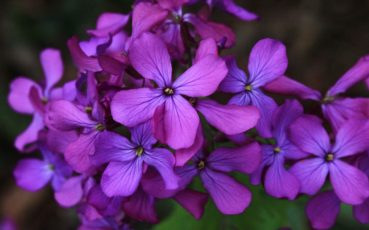 Beauty In Nature Blooming Close-up Day Flower Flower Head Nature No People Outdoors Plant Purple Silver Dollar Plant