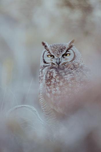 Magellanic Horned Owl (Bubo magellanicus) Magellanic Horned Owl Bubo Magellanicus Bubo Bubo Outdoors One Animal Vertebrate Bird Wildlife Portrait Cute Misterious