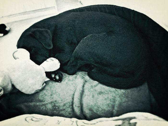 My Beloved Labrador