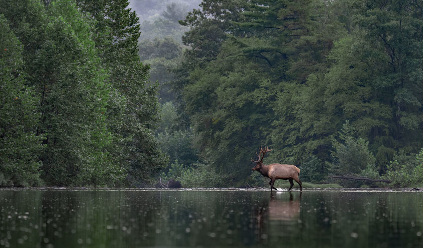 Elk in lake against trees