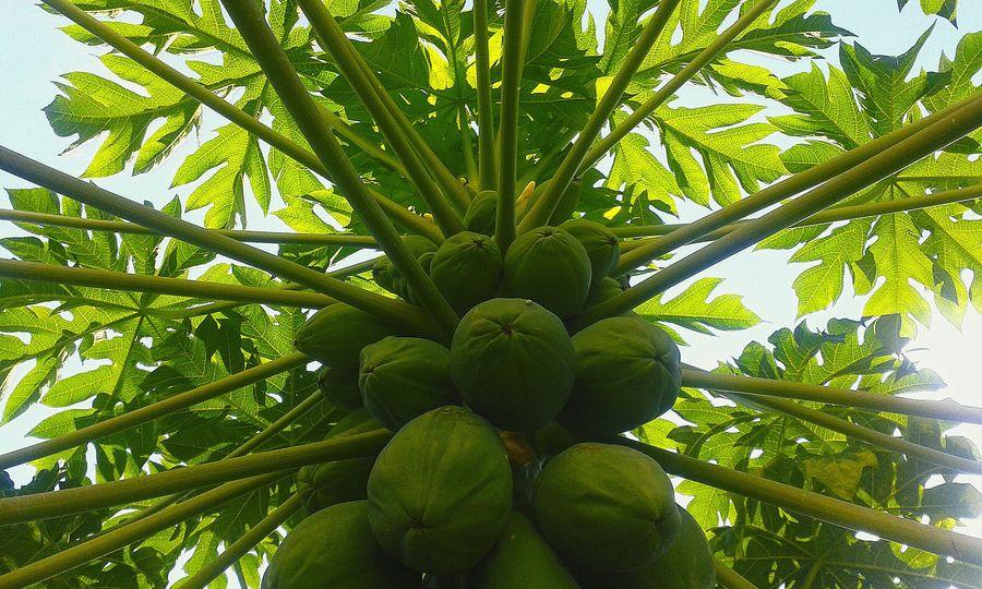 Green Papaya Mamao Mamoeiro Green Nature Fruits ♡ Nature_collection Beautiful Nature Abundance Naturelovers Pindamonhangaba Brazil