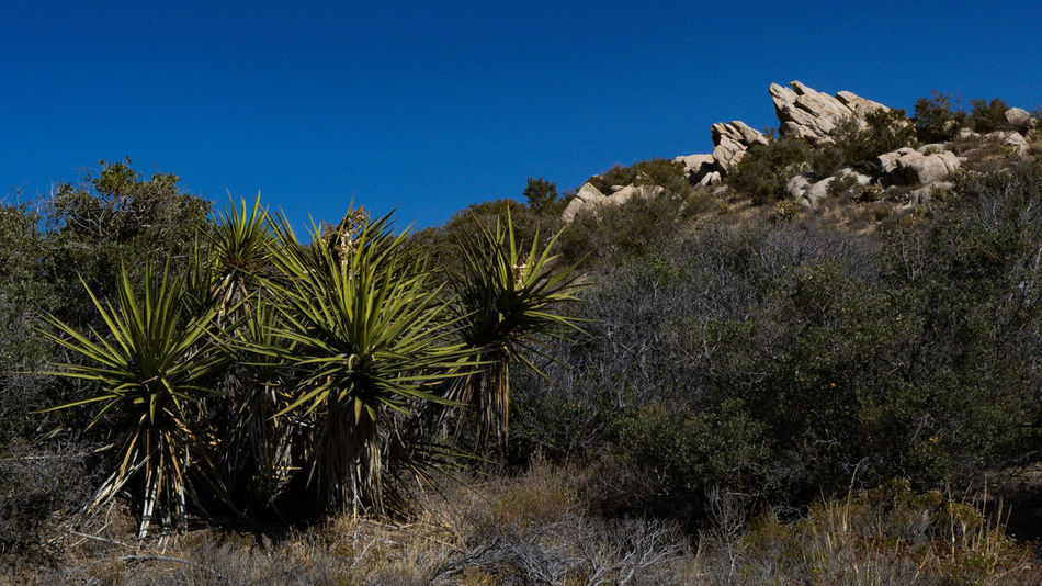 Palm Tree Tree Desert Nature Travel Destinations Clear Sky Landscape Arid Climate No People Plant Growth Blue Outdoors Sky Day Beauty In Nature Southern California McCain Valley Hiking Beauty In Nature Rock - Object Scenics Wilderness Cactus Clear Sky