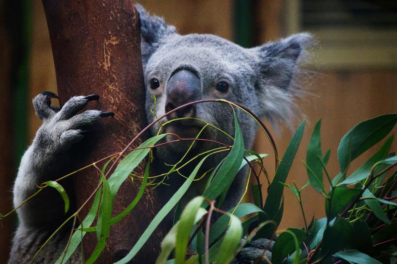 Koala by tree