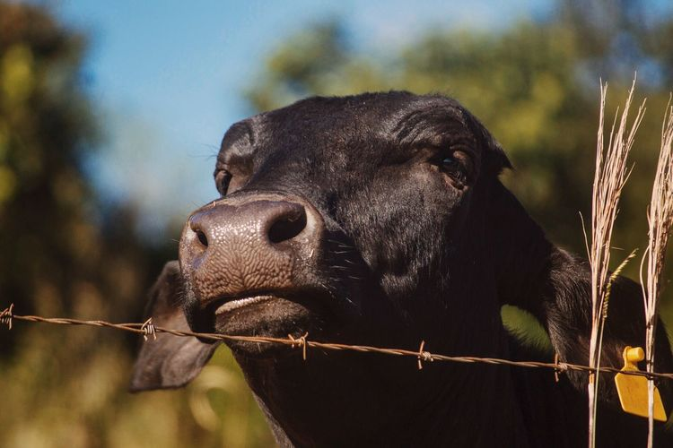 Close-Up Of Cow Looking Away