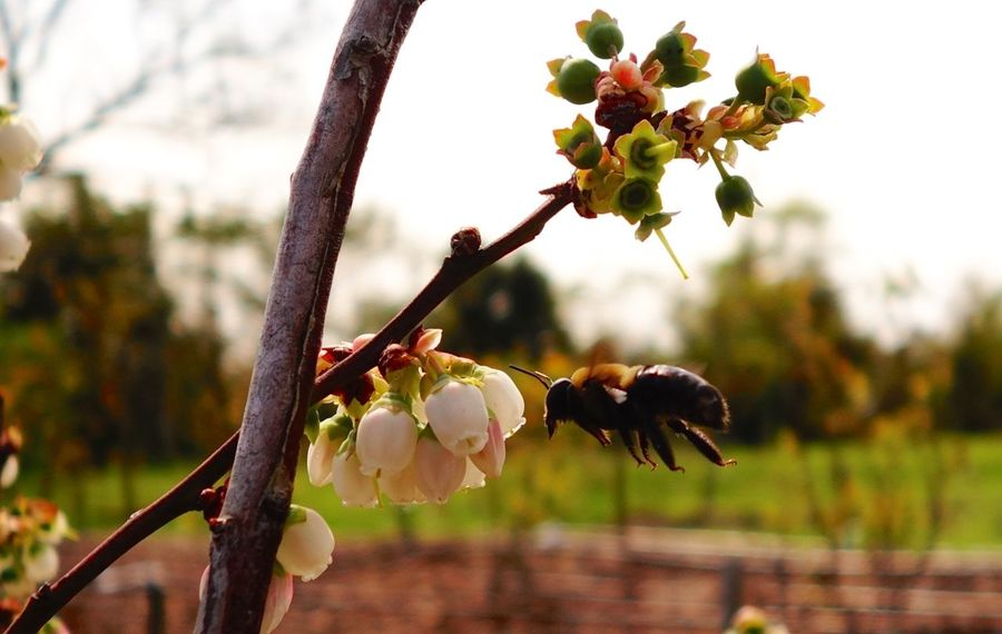 Bumblebee & Blueberry Blossoms Beauty In Nature Bee Blooming Blossom Blueberry Blossom Botany Bud Bumble Bee Collecting Pollen Bumblebee Close-up Flower Flower Head Focus On Foreground Fragility Growth In Bloom Nature Petal Plant Pollen Pollenation Selective Focus Springtime