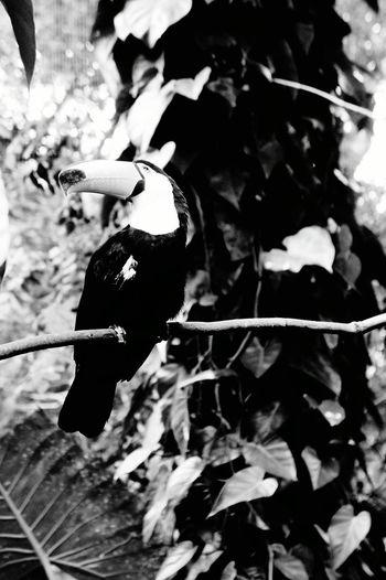 Toucan Brasil Bresil  Amazonia Amazonas-Brasil Birds Amazone Animal Animals Pet Portraits