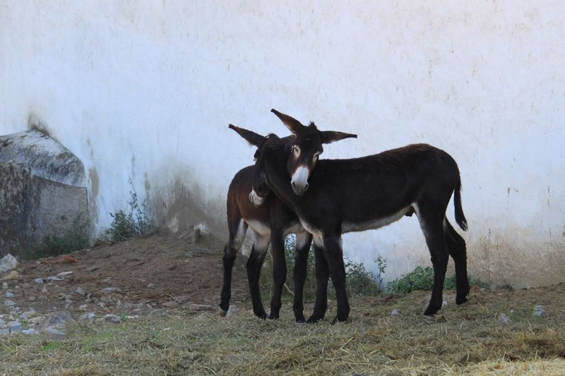 Animals Cute Animals Donkeys Playing Brothers 365project