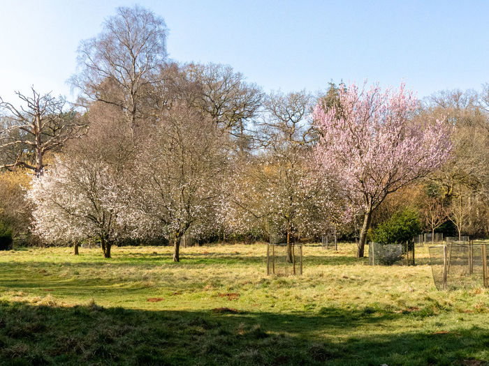 Tree Arboretum Westonbirt Arboretum Beauty In Nature Growth Tranquility Sky Nature Springtime Cherry Blossom Outdoors Flowering Plant Tranquil Scene No People