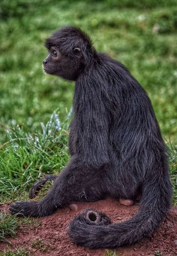 Close-Up Of Spider Monkey Sitting On Field