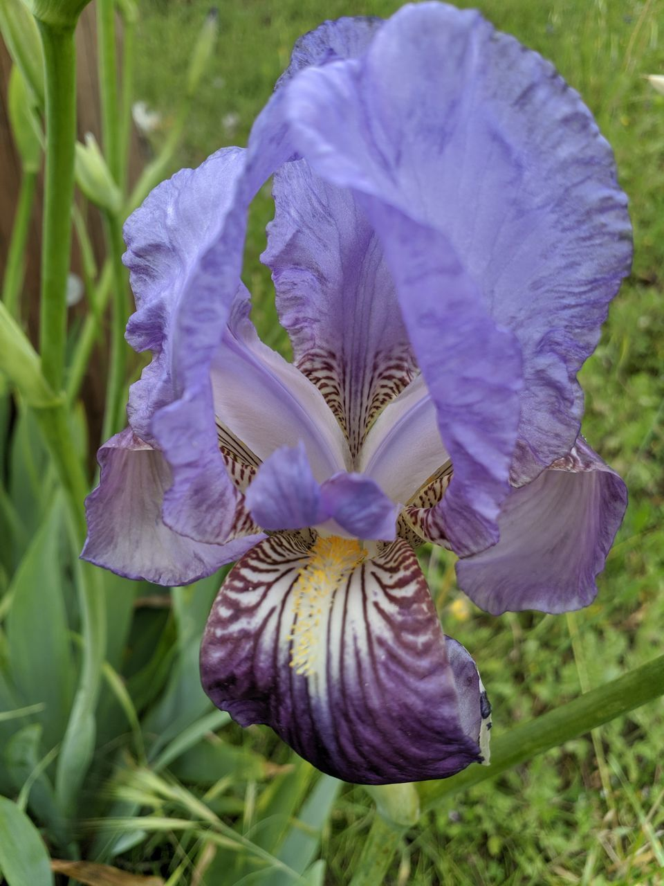 CLOSE-UP OF PURPLE IRIS BLOOMING ON FIELD