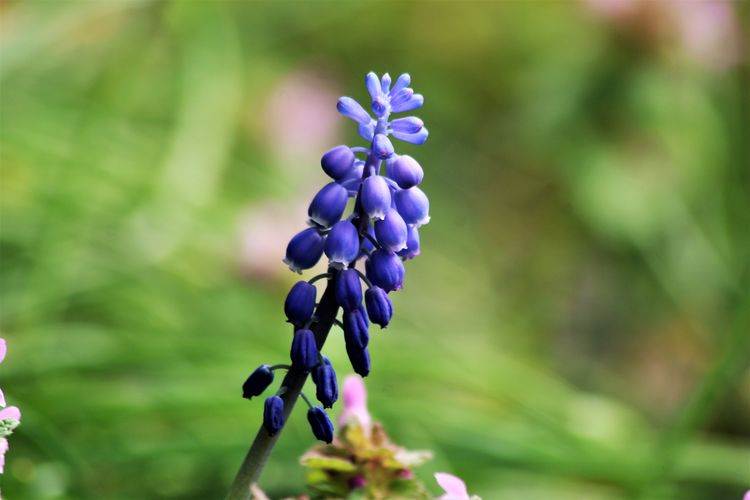 Beauty In Nature Bokeh Close-up Day Flower Flower Head Focus On Foreground Fragility Freshness Grape Hyacinth Grape Hyacinths Growth Hyacinth Nature No People Outdoors Plant Purple See What I See Walking Around Taking Pictures