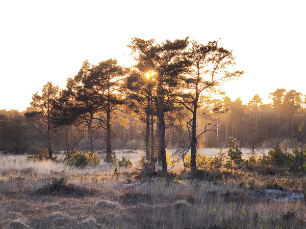 Wintry scene at Thursley Common, Surrey, England Beauty In Nature Day Freshness Grass Growth Landscape Landscape_Collection Nature Nature Reserve No People Outdoors Plant Rim Lighting Scenics Silhouette Silhouetted Trees Sky Sunset Sunset Silhouettes Sunset_collection Thursley Common Tree Winter Winter Trees