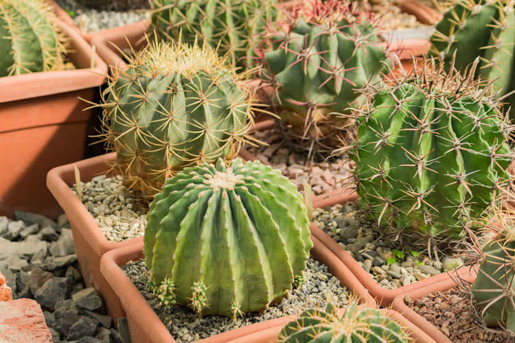 Close up of ball shaped cacti in flower pots in botanical garden