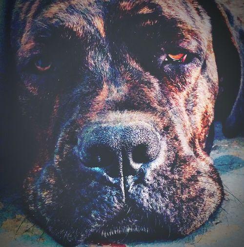 Sara Louise ItalianMastiff Dog Pet Animals