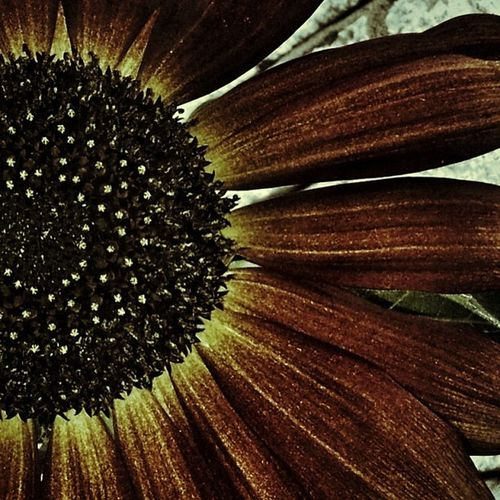 #sunflower #flower #petal Flower Sunflower Petal Halforpartial_nio