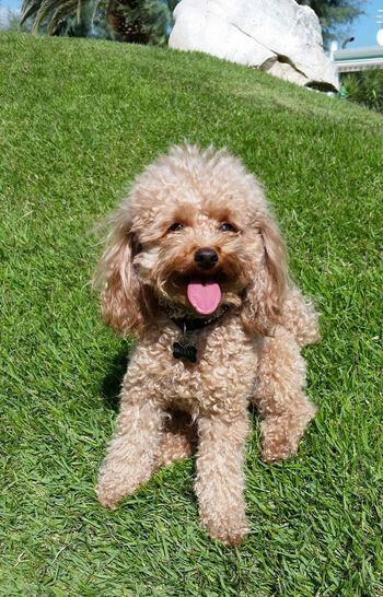 Dog Pets Animal Themes Domestic Animals Poodle Dog❤ Dogs Of EyeEm Toypoodle Taking Photos Poodle🐩 Poodletoy Poodlemania