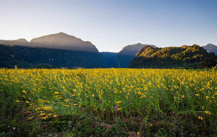 Yellow flower field known as sunn hemp and mountain background. Agriculture Farm Farmer Farmland Field Nature Photography Plant Thailand Yellow Flower Agricultural Field Agricultural Land Cropped Farming Flower Collection Grassland Hemp Landscape_photography Mountain Mountains And Sky Plantation Sunn Hemp Yellow Background Yellow Flower Field Yellow Flowers Yellow Flowers In Nature