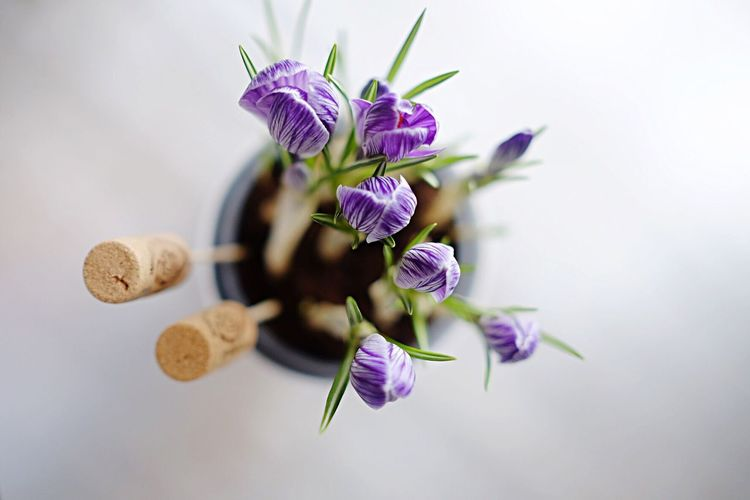 High Angle View Of Purple Flowers With Corks On Table