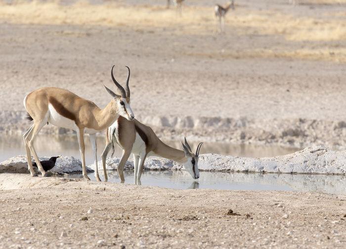 Antelope drinking water in lake