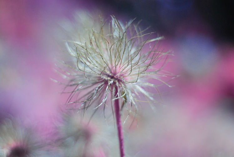 Flower Plant Flowering Plant Freshness Fragility Vulnerability  Close-up Growth Beauty In Nature Selective Focus No People Inflorescence Nature Flower Head Focus On Foreground Outdoors Pink Color Day Plant Stem Sepal Dandelion Seed Softness Wilted Plant