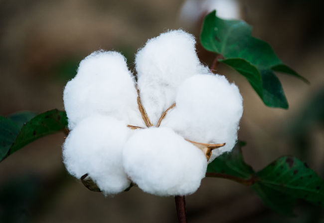 Agriculture Farm Rural Beauty In Nature Close-up Cotton Cotton Field Cotton Flower Day Fragility Freshness Growth Nature No People Outdoors Plant