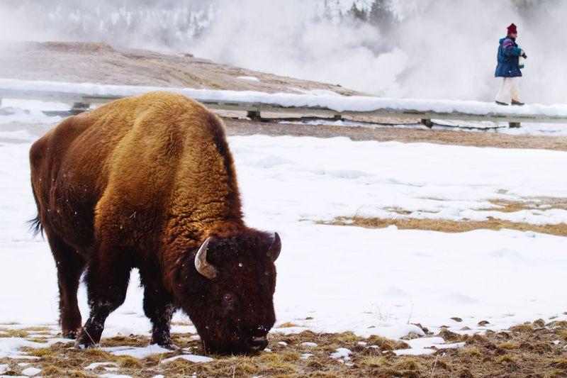 Bison on snow landscape