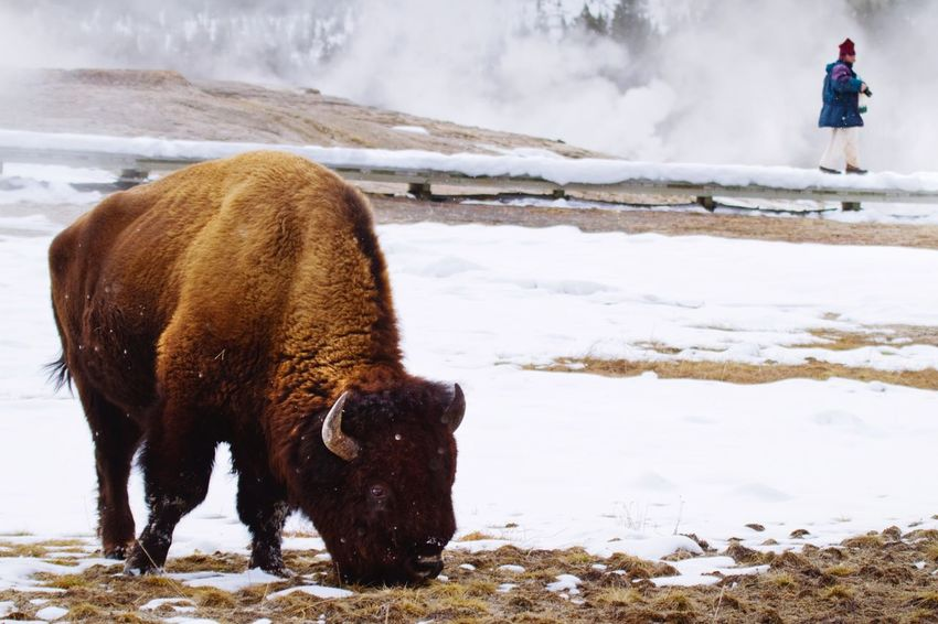 The Americans Tourism Nationalpark Yellowstone National Park Winter Snow Wyoming Bison Nature Photography Wildlife Nature