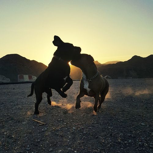 Dogs playing outdoors against sky during sunset