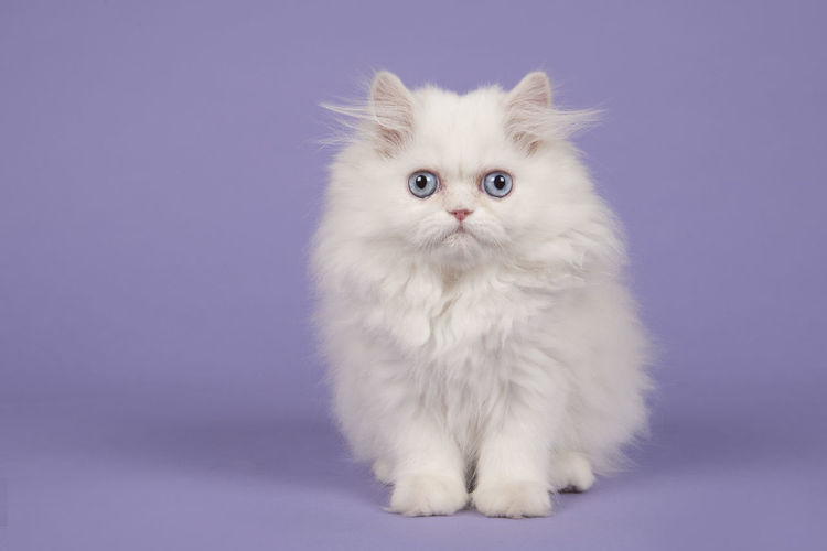 White persian longhair kitten with blue eyes sitting on a purple background Blue Eyes Persian Cat  Animal Cat Colored Background Cute Cute Kitten Feline Kitten Persian Cat  Persian Kitten Pets Purebred Cat Purple Background Sitting Studio Shot Whisker