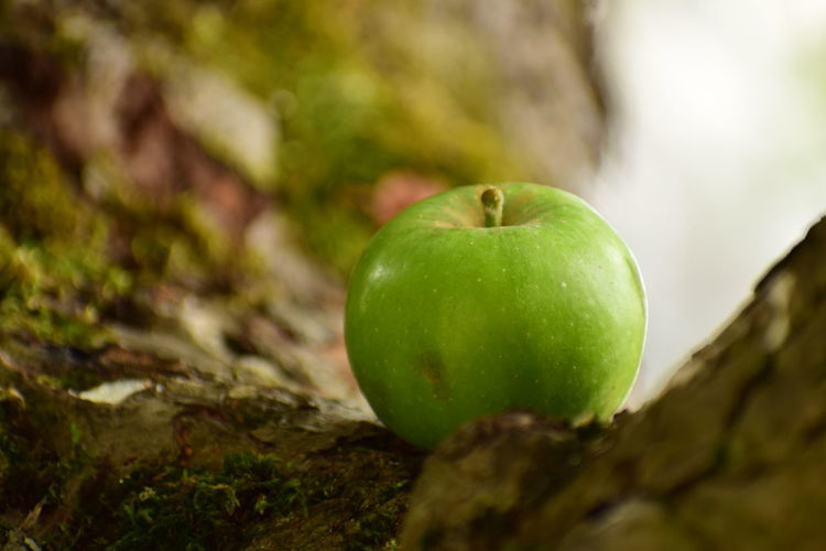An Apple in Calvados Apple Apple - Fruit Close-up Day Focus On Foreground Food Food And Drink Freshness Fruit Granny Smith Apple Green Color Healthy Eating Nature No People Outdoors Plant Selective Focus Still Life Tree Wellbeing