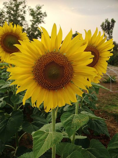 Sunflower Flowers Agriculture Plants Bueatiful